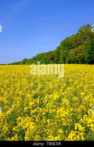 yellow flowering oil seed rape field, north norfolk, england - Stock Image