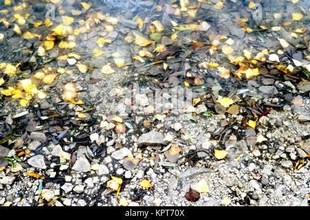 Autumn yellow birch tree leaves floating in a calm village water pond with copy space area for nature background - Stock Image