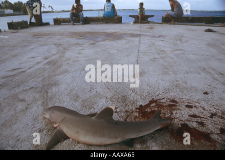 Reef Whitetip shark flailing on dock with tailfin cut off - Stock Image
