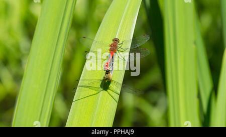 Dragonfly couple Sympetrum striolatum - Stock Image