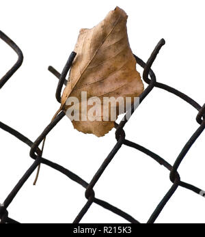 Fallen yellow autumn linden limetree leaf caught on rusty wire mesh fence, isolated vertical closeup, solitude concept copy space, large detailed - Stock Image