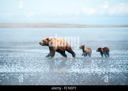 Three Grizzly Bears, Ursus arctos, mother and two Spring Cubs, running across the tidal flats of the Cook Inlet, - Stock Image
