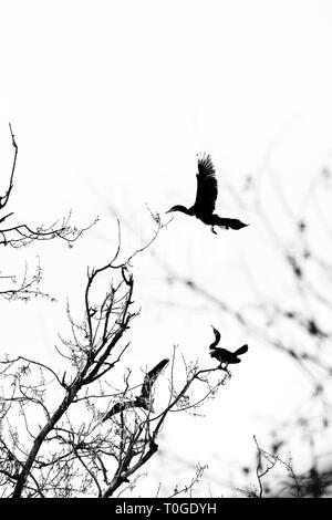 Great black cormorants - Stock Image