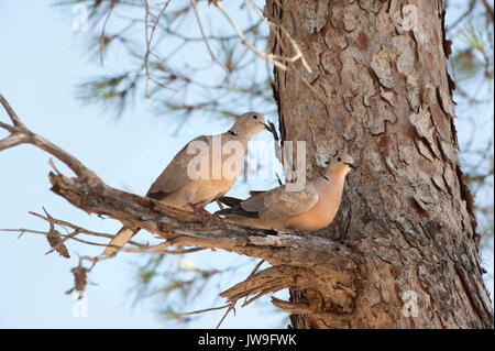 Breeding pair of Eurasian collared doves, (Streptopelia decaocto),perched in pine tree, Ibiza, Balearic Islands, Spain - Stock Image