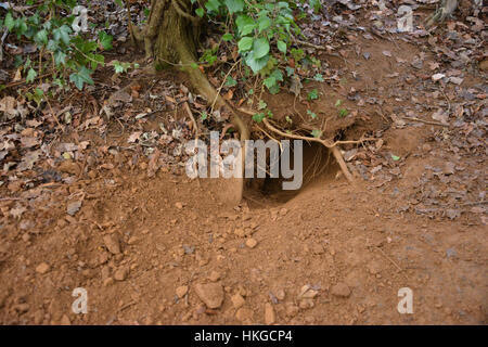 Entrance to badger sett by footpath close to former railway viaducts in the noth Oxfordshire village of Hook Norton - Stock Image