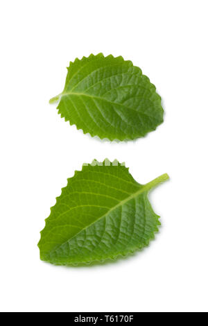 Fresh green leaves of Mexican mint isolated on white background - Stock Image