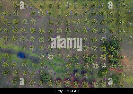 A coconut farm in southern Thailand - Stock Image