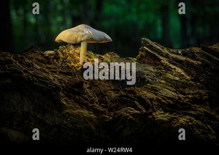 Mushroom growing on old rotten log in forest - Stock Image