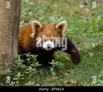 Red or lesser panda pauses to raise a front paw China - Stock Image
