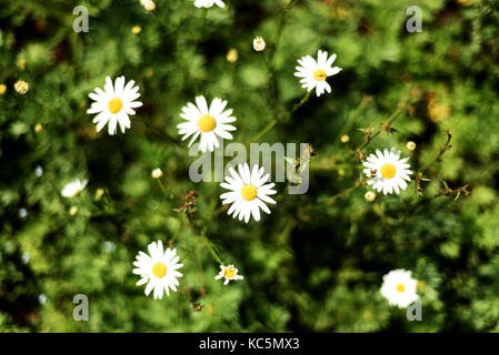 Wild daisies with white flower petals and green leaves growing in nature with bokeh style vegetation - Stock Image