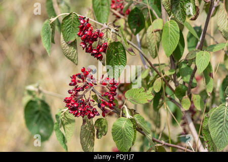 A cluster of deep red flat shaped viburnum berries on a viburnum bush - Stock Image