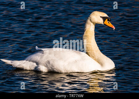 Swan at the Serpentine Lakes, Wimpole Estate, Cambridgeshire, UK - Stock Image