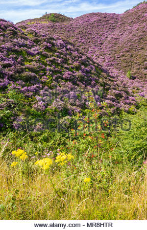 Heather, Oxford Ragwort and Rowan on the slopes of old colliery tips at Varteg, Torfaen, Wales, UK. - Stock Image
