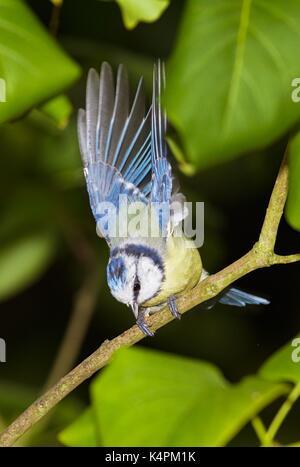 Eurasian blue tit (Cyanistes caeruleus) - Stock Image