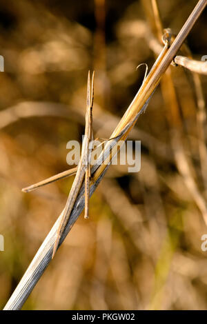 Stick insects are so called because they are easily confused with twigs because as well as the body, even the antennas and the three pairs of legs. - Stock Image