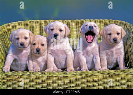 Five Labrador Retriever puppies, eight weeks old posing in wicker chair - Stock Image