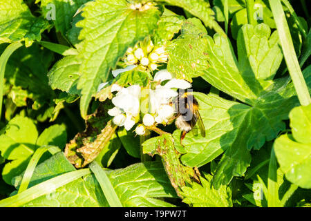 A garden bumble bee Bombus hortorum with a white tail drinking nectrar from a white dead nettle flower Lamium album - Stock Image