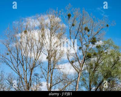 Spring, mistletoe in trees against blue sky, Eifel landscape near at Strohn, near Daun, Eifel, Germany - Stock Image