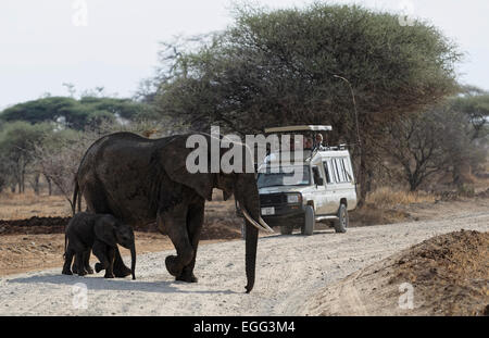 Mother and calf African Elephant crossing a gravel road in Tangire National Park, East Africa. - Stock Image