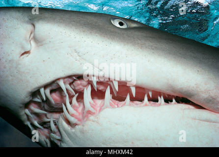 Sand Tiger Shark (Eugomphodus taurus) night, Seals Rocks - New South Wales - Australia.   Image digitally altered to remove distracting or to add more - Stock Image