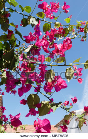 deep pink bougainvillea flowers against a blue sky - Stock Image