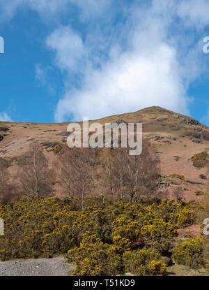 Springtime gorse with Catbells Fell, Derwentwater, Cumbria, UK. - Stock Image