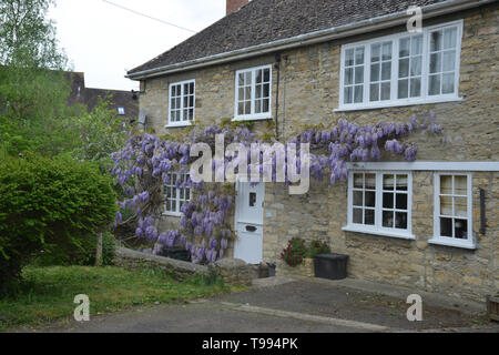 Wisteria in flower on the outside of a house in the Oxfordshire village of Bladon - Stock Image