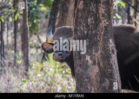 Indian Bison or Gaur, Bos saurus, peeking from behind a tree in Bandhavgarh National Park, Madhya Pradesh, India - Stock Image
