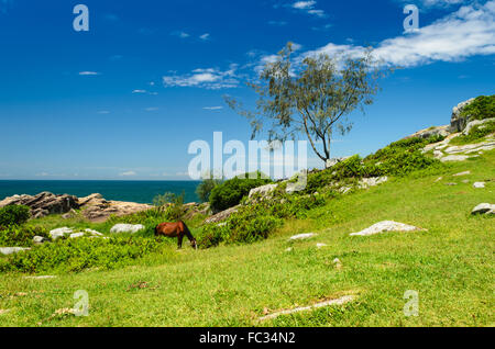horse eating grass on a field on the armacao beach, Florianoplis, Brazil - Stock Image