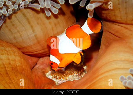 Clown Anemonefish, Amphiprion percula, tending eggs laid at the base of the host Magnificent Anemone, Heteractis magnifica. Tulamben, Bali, Indonesia. - Stock Image