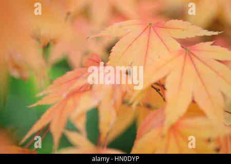Acer Japonicum Full Moon Maple, changing leaf colour Jane Ann Butler Photography  JABP1831 - Stock Image