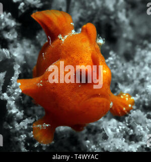 Juvenile Red Painted Frogfish (Antennarius Pictus), Lembeh Strait, Indonesia - Stock Image