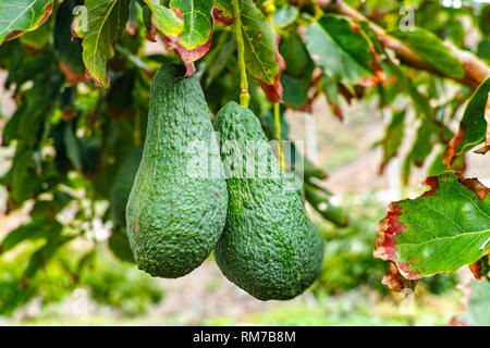 Tropical avocado tree with ripe green avocado fruits growing on plantation on Gran Canaria island, Spain, ready for seasonal harvest - Stock Image