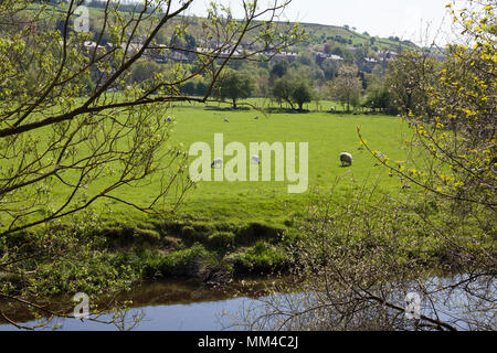 Sheep in fields, Linthwaite, West Yorkshire - Stock Image