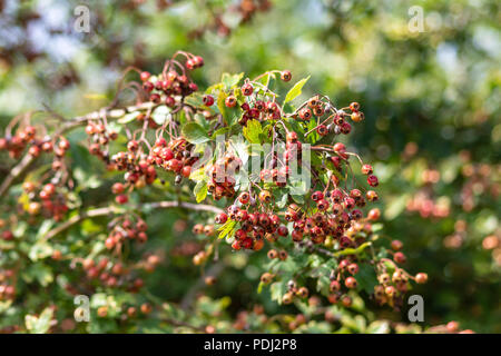 A Hawthorn (Crataegus monogyna) branch heavily laden with clusters of ripening berries in Wiltshire - Stock Image