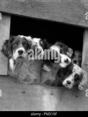 1920s 1930s FIVE DOGS ENGLISH SETTER PUPS WITH HEADS STICKING OUT OF OPENING IN KENNEL LOOKING AT CAMERA - d2090 HAR001 HARS EXTERIOR SETTER HOPEFUL PUPS STICKING IN OF OPPORTUNITY POOCH CONNECTION CROWDING CLOSE-UP CURIOUS STYLISH DARLING WANTING CANINE LONESOME MAMMAL TOGETHERNESS ADORABLE APPEALING BLACK AND WHITE HAR001 INQUISITIVE OLD FASHIONED - Stock Image