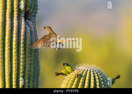 A Brown-crested Flycatcher (Myiarchus tyrannulus) in flight bringing a crushed cidada to its nest in a Saguaro  (Carnegiea gigantea). (Arizona) - Stock Image
