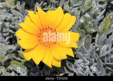 Treasure Flower Gazania rigens growing on the coast of Mallorca - Stock Image