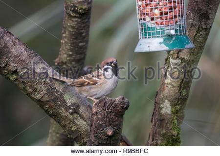 Tree sparrow (Passer montanus) Caerlaverock WWT, Dumfries & Galloway, Scotland, UK, - Stock Image