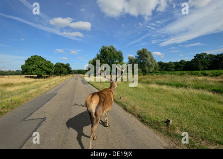 Deer in the Richmond Park, London - Stock Image
