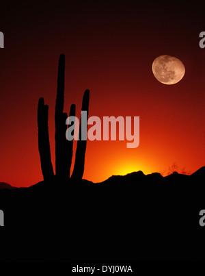 Saguaro Moon Desert Cactus Arizona United States - Stock Image