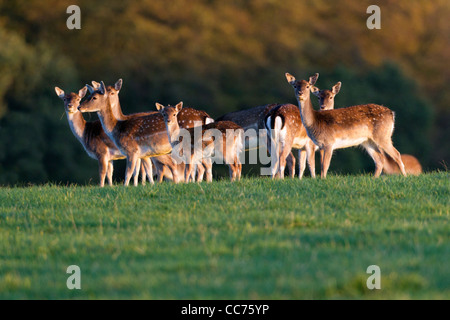 Fallow Deer (Dama dama), Herd of Hinds and Fawns, Sjaelland, Denmark - Stock Image