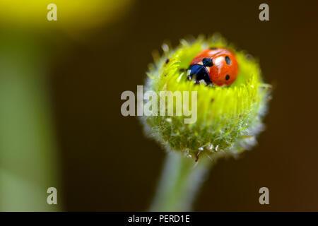 Ladybird on a camomile. Garden, chamomile. - Stock Image