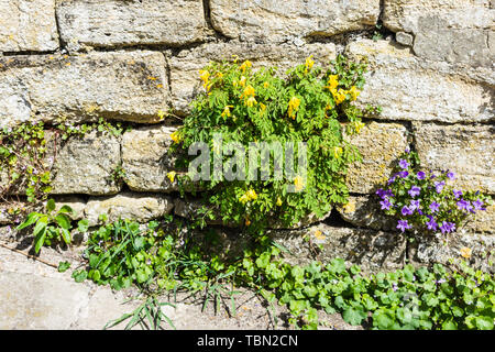 A clump of yellow corydalis Pseudofumaria lutea growing in a stone wall with a small campanula plant next to it - Stock Image