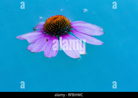 An echinacea purpure, purple wildflower, floats in a blue pool of water. - Stock Image
