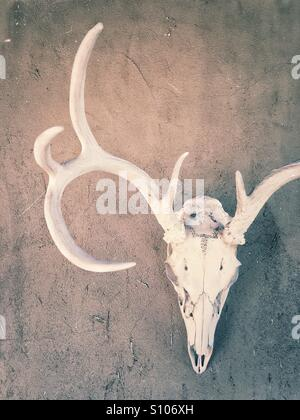 Skull hanging on Adobe wall, New Mexico, USA - Stock Image