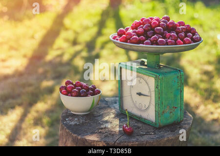 Vintage ripe sweet cherry on scales in the garden - Stock Image