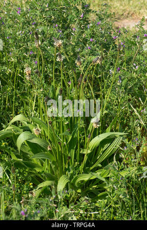 A flowering ribwort or narrowleaf plantain, Plantago lanceolata, plant flowering in waste ground in spring, Berkshire, May - Stock Image