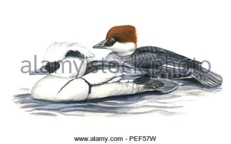 dwarf saeger mergus albellus - Stock Image