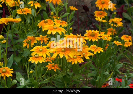 A bed Of Yellow and Orange Rudbeckia - Stock Image